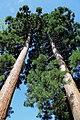 Gloggnitz - Mammutbäume im Schlosspark.JPG