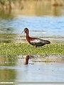 Glossy Ibis (Plegadis falcinellus) (45854958564).jpg