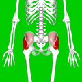 Gluteus medius muscle05.png