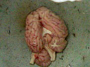 Goat brain prior to being cooked