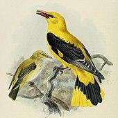 uccello giallo e nero