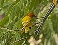 Golden Palm Weaver - Meru - Kenya 06 8317 (22850470935).jpg