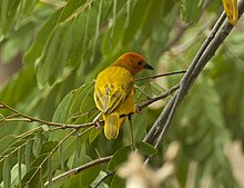 Golden Palm Weaver - Meru - Kenya 06 8317 (22850470935).jpg