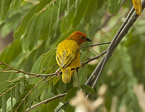 Description de l'image Golden Palm Weaver - Meru - Kenya 06 8317 (22850470935).jpg.