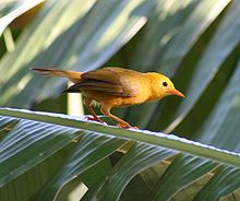 Small yellow bird with brownish wings and orange-pink bill and legs perching on a palm tree frond
