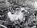 Golden eagle chick, circa 1938 (6478691399).jpg