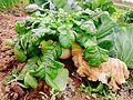 Good-grown radish.jpg