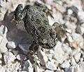 Grönfläckig padda (Bufotes viridis) - European green toad - Flickr - Ragnhild & Neil Crawford.jpg