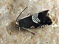 Grapholita compositella - Clover seed moth - Плодожорка клеверная (41239821702).jpg