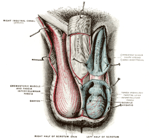 Diagram of the scrotum. On the left side the c...