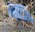 Great blue heron cropped.jpg