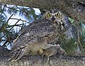 Great horned owl with Uinta ground squirrel at Mammoth Hot Springs (14739176647).jpg