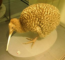 Great spotted kiwi, apteryx haastii, Auckland War Memorial Museum.jpg