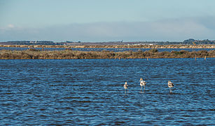 Greater Flamingos, Lido de Thau, Sète 10.jpg