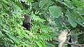 Greater coucal 01.jpg