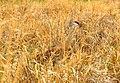 Greater sandhill crane on Seedskadee National Wildlife Refuge 01 (14205206258).jpg