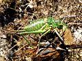 Green Bush cricket. Steropleurus andalusius levantinus.^ Tettigoniidae. Sub family. Ephippigerinae - Flickr - gailhampshire (7).jpg