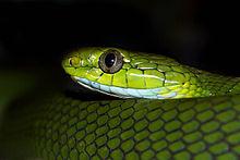 Green Cat Snake in Jalpaiguri.jpg