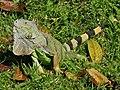 Green Iguana (Iguana iguana) (6775716875).jpg