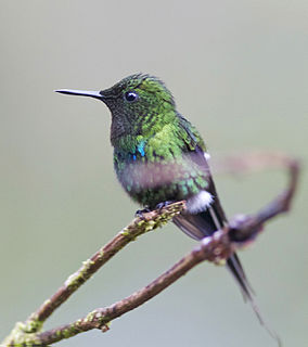Green thorntail species of bird