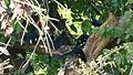 Green Wood Hoopoes (Phoeniculus purpureus) chorus ... (17286076106).jpg