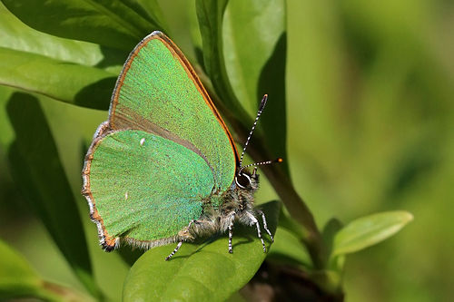 Papillon /  Balafenn - Page 2 500px-Green_hairstreak_%28Callophrys_rubi%29_3