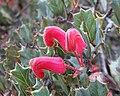 Grevillea pilosa subsp. redacta.jpg