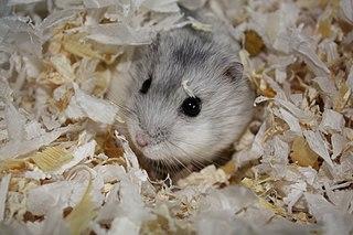 Grey dwarf hamster species of mammal