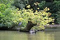 Grey Heron, Forty Hall Park, Enfield.jpg