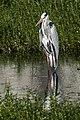 Grey Heron (53729554).jpeg