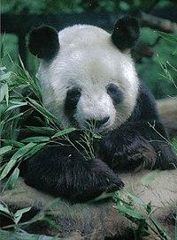 Großer Panda Yan Yan Berlin W 10.jpg