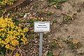 Großpösna - Strömthaler Weg - Botanischer Garten Oberholz - Sedum acre 01 ies.jpg