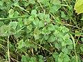 Ground Ivy - geograph.org.uk - 1334827.jpg