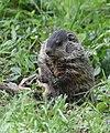 Groundhog (47852810991).jpg