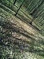 Group of 10 oak trees in Scoreni forest 06.jpg