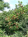 Guelder Rose (Viburnum opulus) - geograph.org.uk - 1450718.jpg