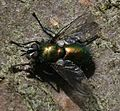 Gymnocheta viridis - Flickr - S. Rae (5).jpg
