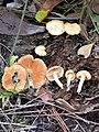 Gymnopilus palmicola 336636.jpg