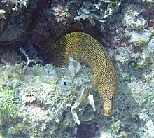 Gymnothorax miliaris (goldentail moray eel) (San Salvador Island, Bahamas) 3 (16171148365).jpg