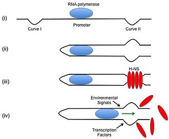 Bacterial DNA binding protein - (i) RNA polymerase at the promoter is surrounded by curved DNA. (ii) This curved DNA wraps around the polymerase. (iii) H-NS binds to the curved DNA to lock the RNA polymerase at the promoter and prevents transcription from occurring. (iv) Environmental signals and transcription factors release the DNA bacterial binding protein and allows transcription to proceed.
