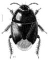 HEMI Cydnidae Philopodemus australis.png