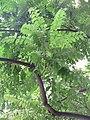HK 灣仔 Wan Chai 皇后大道東 Queen's Road East tree green leaves October 2017 IX1 格木 Erythrophleum fordii 04.jpg