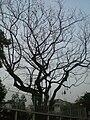 HK Kln Tong 達之路 Tat Chee Avenue evening tree crown Jan-2009.JPG