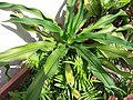 HK Mid-levels High Street clubhouse green leaves plant February 2019 SSG 19.jpg