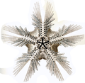 Haeckel Ophiodea 1 Macrophiothrix capillaris.png