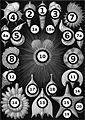 Haeckel Thalamphora big spots.jpg