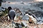 Half Moon Island, Antarctica. Chinstrap Penguin (24572867869).jpg