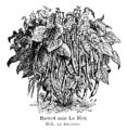 Haricot nain Le Bleu Vilmorin-Andrieux 1904.png