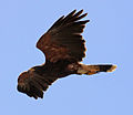 Harris Hawk (3300932580).jpg