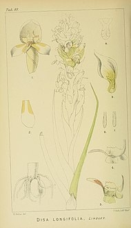 Harry Bolus - Orchids of South Africa - volume I plate 083 (1896).jpg